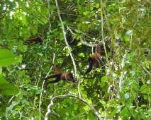 Brown Woolly Monkeys