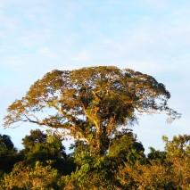 Canopy View Ceibo Tree