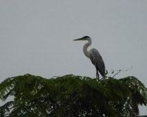 Cocoi Heron 2