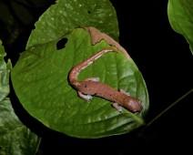 Ecuadorian Salamander