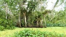 False Mangroves