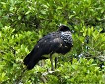 Horned Screamer (female)