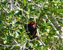 Houler Monkey