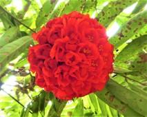 Jungle Rose