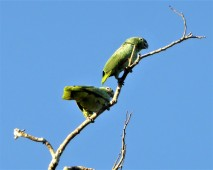 Mealie Amazon Parrot