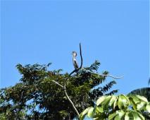 Neotropical Cormoran (juvenile)