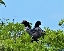 Nesting Pair of Horned Screamer