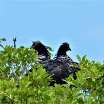 Nesting Pair of Horned Screamer