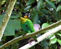 Orange Cheek Parrot 1