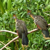 Pair of Hoatzin