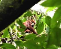 Red Houler Monkey