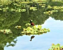 Reflection of Jacana