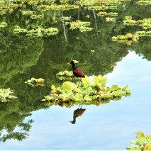 Reflection of Jacana