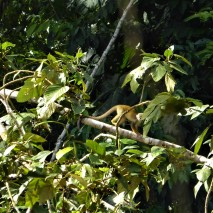 Squirrel Monkey 2
