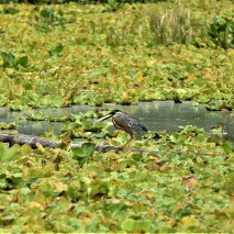 Striated Heron Eating Fish