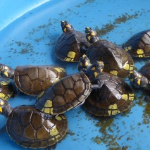 WCS Turtle Conservation Project