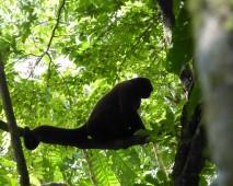 Woolly Monkey Sillhouette