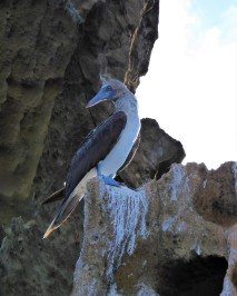 blue footed boobie (2)