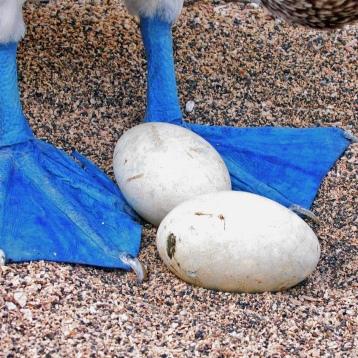 blue footed boobie eggs