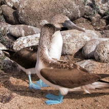 blue footed pair boobie pair