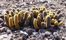 cactus on genovesa island