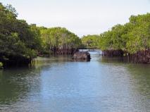 fernandina, mangroves