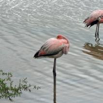 floreana, flamingos