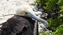 frigatebird juvenile