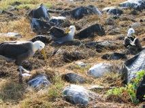 galapagos albatros (4)