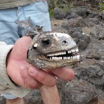 iguana skull
