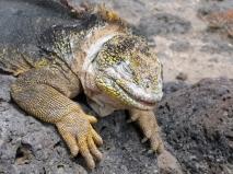 land iguana (2)
