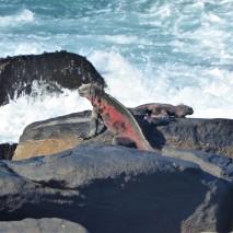 marine iguana (2)