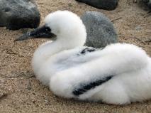 nazca boobie juvenile (2)
