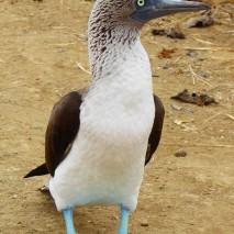 north seymoure, blue footed boobie
