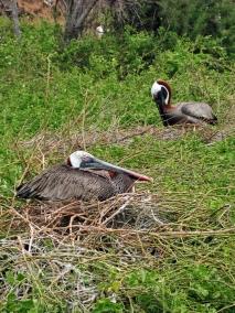 pelicans nesting