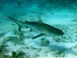 pinzon, galapagos shark