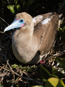 red footed boobie (4)