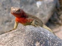 red throated iguana