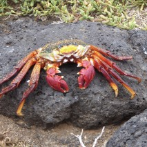 sally lightfoot-crab