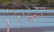 santa cruz, cerro dragón, greater flamingos