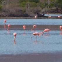 santa cruz, cerro dragón, greater flamingos