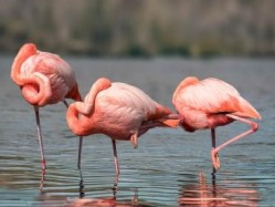 santa cruz, flamingos