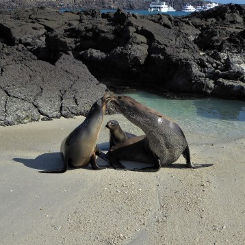 sea lion familiy