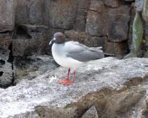 swallo tailed gull