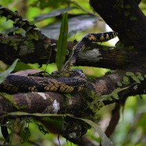 Bird-eating Snake