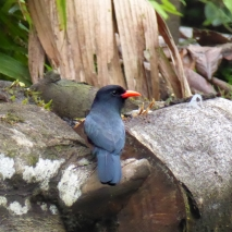 Black-fronted Nunbird