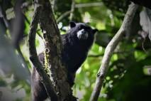 Black-mantled Tamarin Monkey