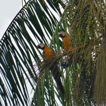 Blue Yellow Macaw 3