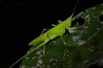 Carnivoros Bush-Cricket