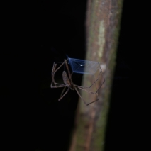 Cast-web Spider